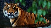 Zoos Framed Prints - Tiger Land Framed Print by Kym Clarke