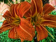 Orange Tiger Lily Prints - Tiger Lilies Print by Paul Cutright