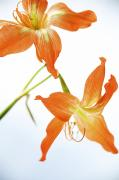 Beauty Spa Art Prints - Tiger Lily 1 Print by Kicka Witte - Printscapes