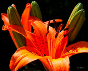Tiger Lily Print by Christopher Holmes