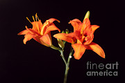 Monocotyledon Framed Prints - Tiger Lily Flower Opening Part Framed Print by Ted Kinsman