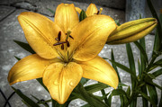 Flora Photos - Tiger Lily by Scott Norris