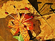 Nature Study Photo Prints - Tiger Lily Still Life  Print by Chris Berry