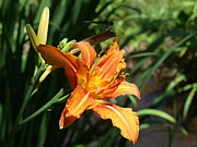 Orange Tiger Lily Prints - Tiger Lily with Dragonfly in Background Print by Frank Piercy
