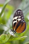Breakable Posters - Tiger Longwing Butterfly Heliconius Poster by Henry Georgi Photography Inc