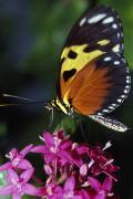 Blooms  Butterflies Photo Posters - Tiger Longwing Butterfly Poster by Natural Selection Ralph Curtin