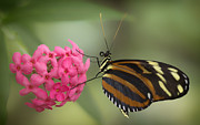 Butterfly House Prints - Tiger Longwing on Flower Print by Bill Tiepelman