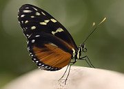 Black Wings Prints - Tiger Longwing Profile Print by Bill Tiepelman