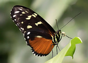 Butterfly House Prints - Tiger Longwing Up Close Print by William Tiepelman