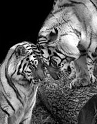 Monotone Prints - Tiger Love Print by Stephanie McDowell