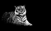 Looking At Camera Metal Prints - Tiger Metal Print by Malcolm MacGregor