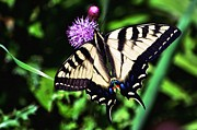 Tiger Swallowtail Digital Art Posters - Tiger on a Thistle Poster by Don Mann