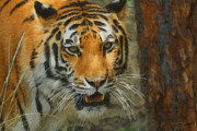 Photograph Of Cat Framed Prints - Tiger Painterly 20x30 Framed Print by Ernie Echols