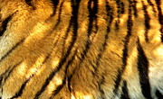 Pelts Prints - Tiger Pelt Close Up Print by Deniece Platt