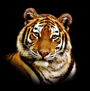 Tiger Metal Prints - Tiger Metal Print by Photodream Art
