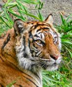 Felines Tapestries Textiles - Tiger Portrait by Jennie Marie Schell