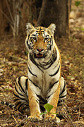 The Tiger Metal Prints - Tiger Re Metal Print by Soumyajit Nandy Photography