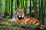 Tiger Rest And Bamboo Print by Sandi OReilly