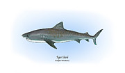 Game Drawings Framed Prints - Tiger Shark Framed Print by Ralph Martens