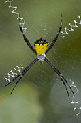 Araneidae Posters - Tiger Spider Female On A Web Costa Rica Poster by Piotr Naskrecki