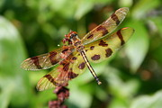 Anne Babineau Metal Prints - Tiger Striped Dragonfly Metal Print by Anne Babineau