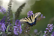 Indiana Flowers Prints - Tiger Swallowtail - D007041 Print by Daniel Dempster