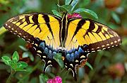 Insects Photo Originals - Tiger Swallowtail by Alan Lenk