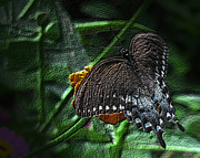 Tiger Swallowtail Digital Art Posters - Tiger Swallowtail Butterfly Dark Poster by Donna Brown