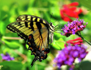 Wild Wings Metal Prints - Tiger Swallowtail Butterfly Metal Print by Nick Zelinsky