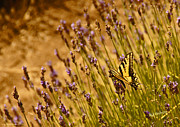 Mick Anderson - Tiger Swallowtail Butterfly on Lavender