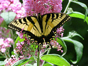 Randi Shenkman Metal Prints - Tiger Swallowtail Butterfly Metal Print by Randi Shenkman