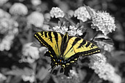 Yellow Bugs Prints - Tiger Swallowtail Butterfly Selective Color Print by Jennie Marie Schell