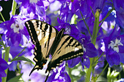 Yellow Insect Posters - Tiger Swallowtail Delphinium Feast 1 Poster by Scotts Scapes