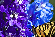 Blue Delphinium Posters - Tiger Swallowtail Delphinium Feast 2 Poster by Scotts Scapes