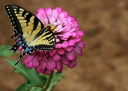 Zinnias Posters - Tiger Swallowtail on a Pink Zinnia Poster by Sabrina L Ryan
