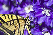 Scott Originals - Tiger Swallowtail on Delphiniums by Scotts Scapes