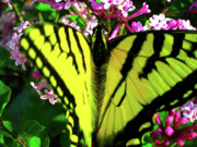Blooms  Butterflies Framed Prints - Tiger Swallowtail on Lilac Framed Print by Randy Rosenberger