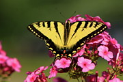 Phlox Framed Prints - Tiger Swallowtail on Phlox Framed Print by John Burk