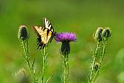 Insects Photo Originals - Tiger Swallowtail on Thistle by Alan Lenk