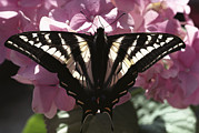 Papilionidae Prints - Tiger Swallowtail Papilio Glaucus Print by Gerry Ellis