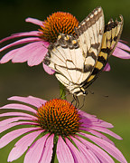 Cone Flower Posters - Tiger Swallowtail Poster by Ron  McGinnis