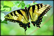 Tiger Swallowtail Prints - Tiger Swallowtail  Print by Saija  Lehtonen