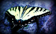 Gatlinburg Posters - Tiger Swallowtail Poster by Susie Weaver