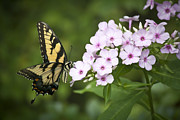 Phlox Prints - Tiger Swallowtail Print by Teresa Mucha