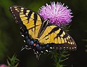 Thistle Framed Prints - Tiger Swallowtail Framed Print by William Jobes