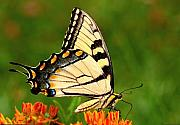 Insects Photo Originals - Tiger Swallowtail Wings Closed by Alan Lenk