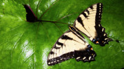 Brilliant Color Posters - Tiger Swallowtail Yellow on Green Poster by Thomas R Fletcher