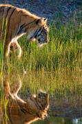 Refection Prints - Tiger Tiger burning bright Print by Melody and Michael Watson
