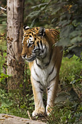 Endangered Cat Posters - Tiger Walking Poster by Denise Swanson