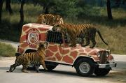 Felines Tapestries Textiles - Tigers Around And Atop A Jeep by Paul Chesley